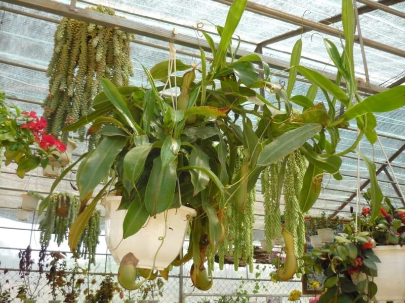 Cây nắp ấm được trồng thành dàn treo