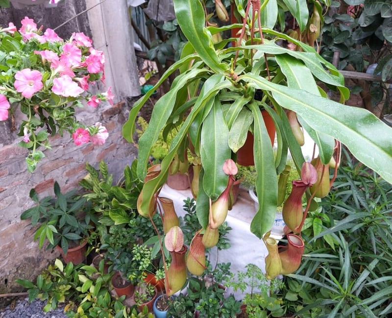 Cây nắp ấm trồng tại góc sân vườn
