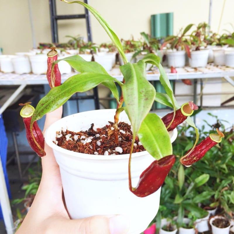 Cây nắp ấm mini trồng chậu trắng