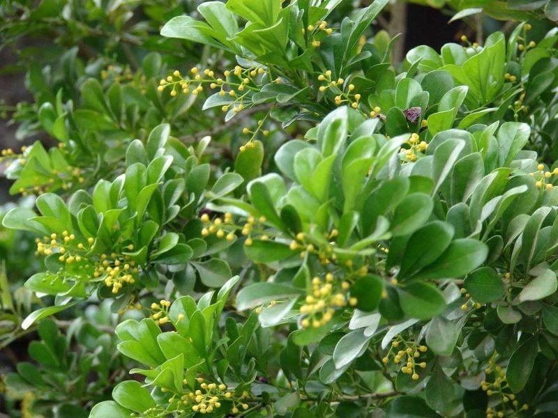 Các tán lá ngâu dài, chụm thành xum xuê, hoa ngâu màu vàng mọc chen ở giữa