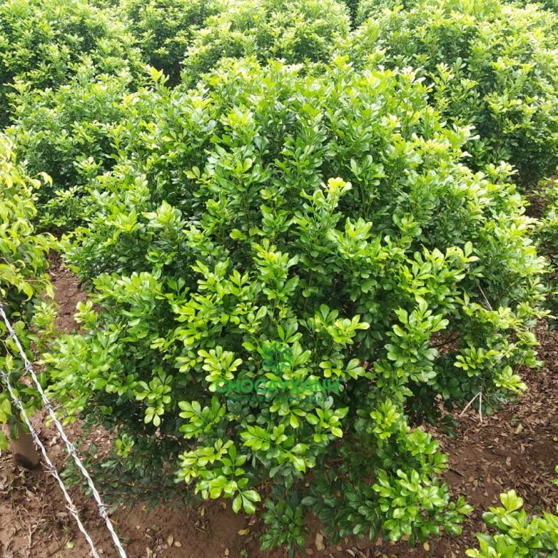 Cây ngâu được trồng ở vườn với lá xum xuê