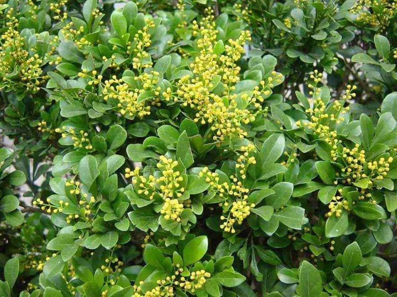 Hoa ngâu màu vàng nổi bật trên nền những tán lá xanh