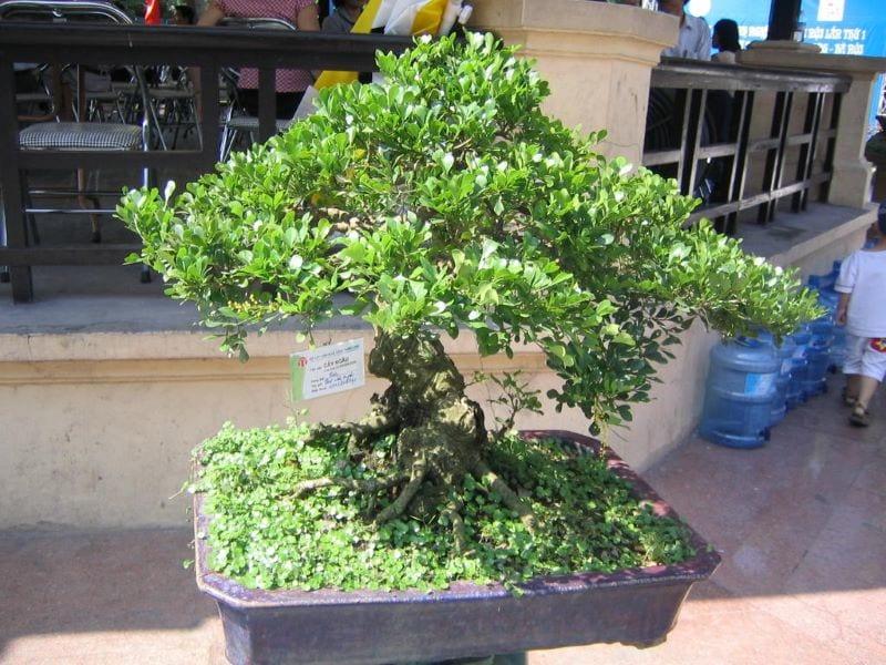 Cây ngâu bonsai kích thước nhỏ, được trồng trong chậu hình chữ nhật