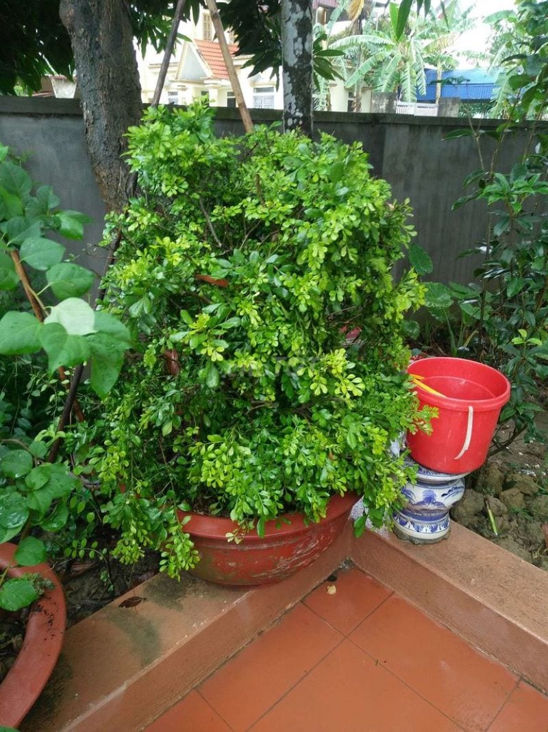 Cây ngâu trồng trong chậu đỏ, kích thước lớn được đặt trong vườn
