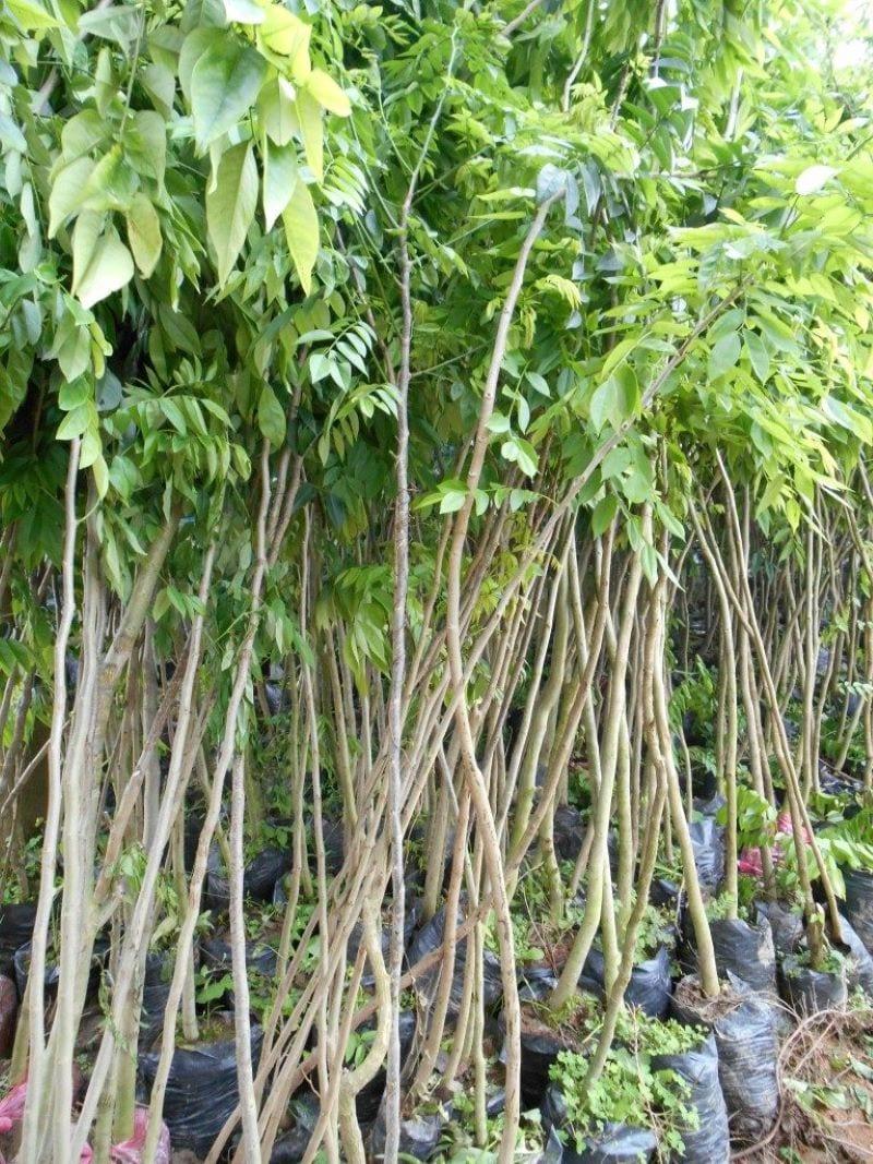 Cây giống sưa đỏ được trồng vào bầu trước khi đem trồng ở rừng