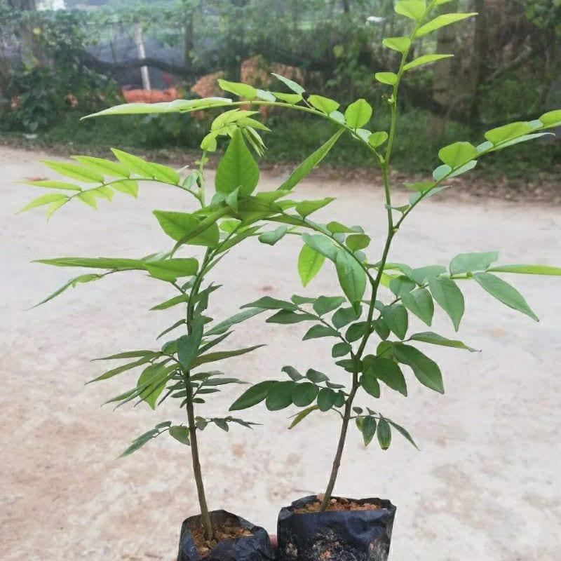 Hai cây sưa đỏ giống được trồng trong bầu