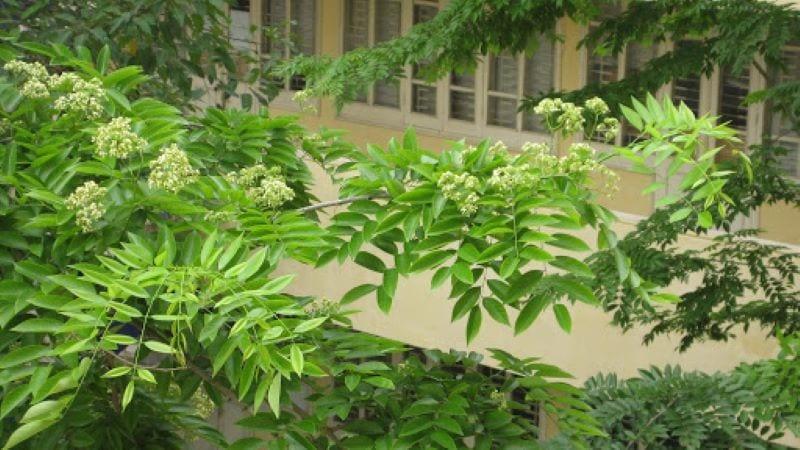 Cây sưa gỗ với lá kép, hoa màu vàng nhạt