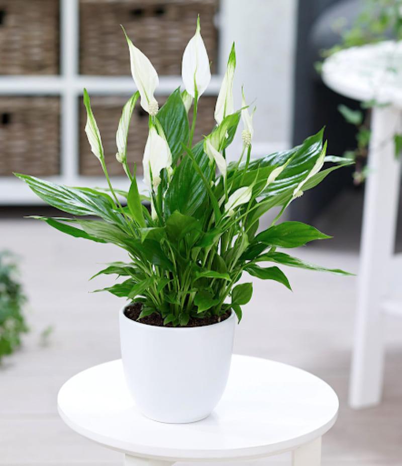 Cây hoa lan ý trên bàn trắng
