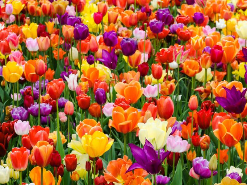 Hoa Tulip 1 800x600