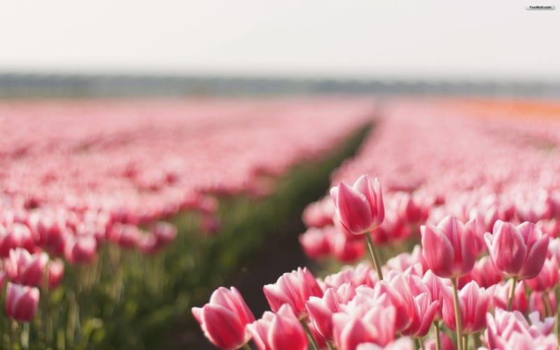 Hoa Tulip 10 800x500