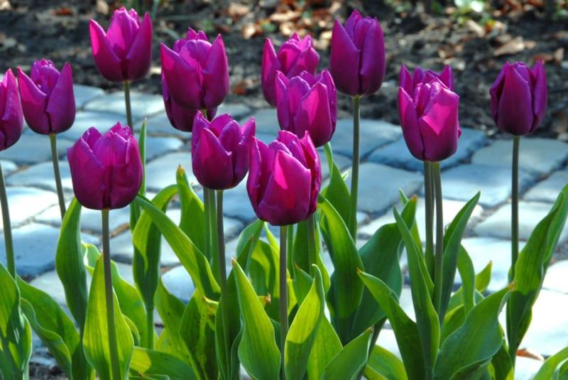 Hoa Tulip 11 800x535