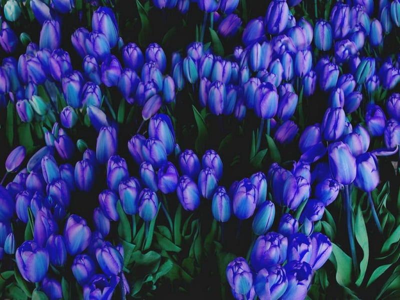 Hoa Tulip 12 800x600