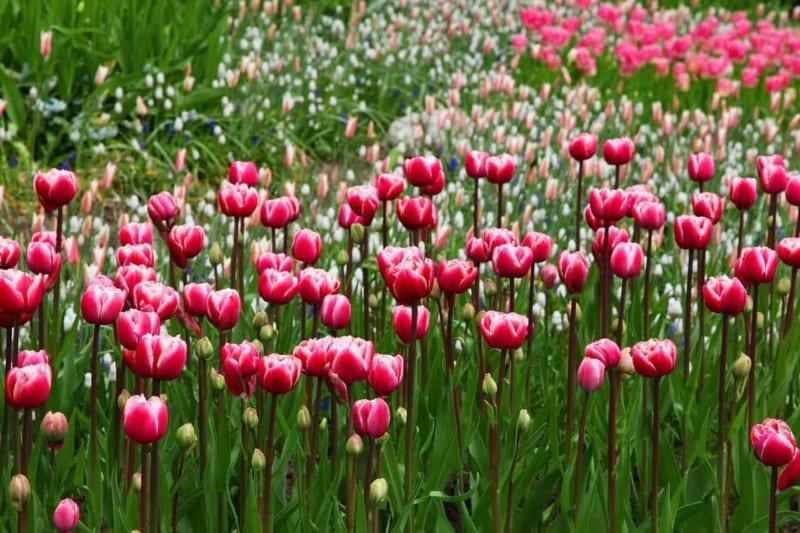 Hoa Tulip 2 800x533
