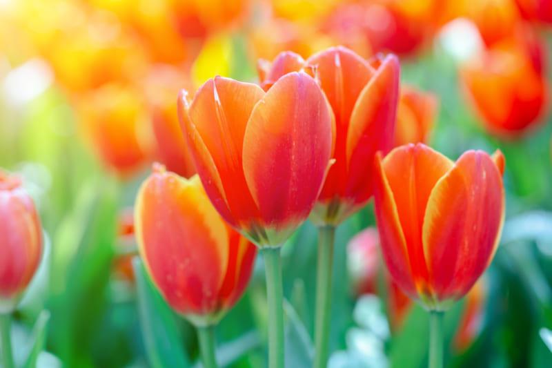 Hoa Tulip 3 800x533