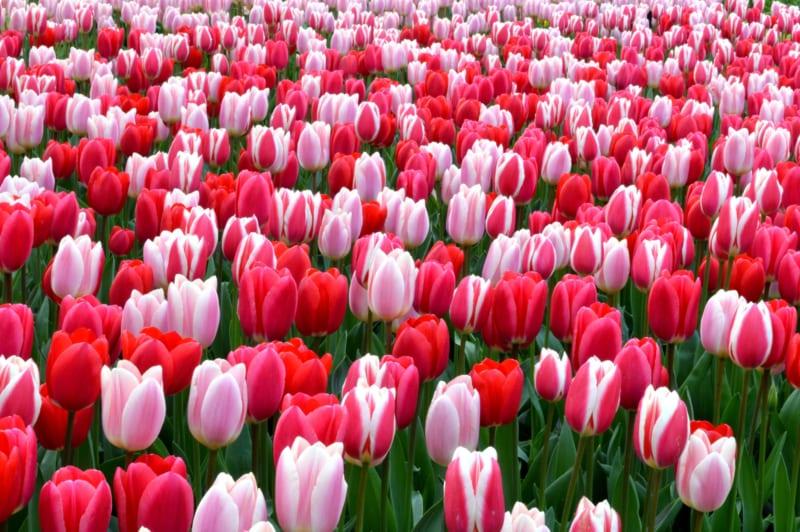 Hoa Tulip 4 800x532