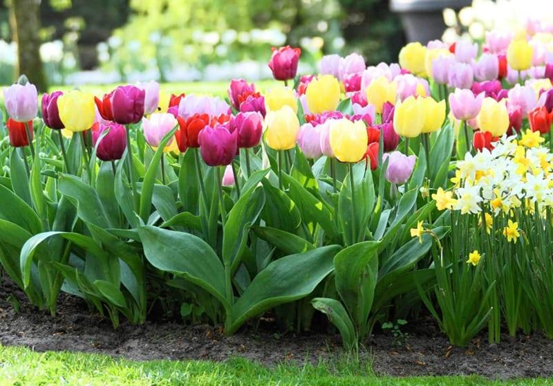 Hoa Tulip 5 800x558