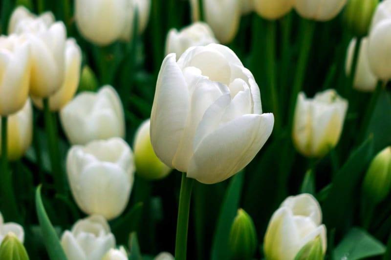 Hoa Tulip 8 800x533
