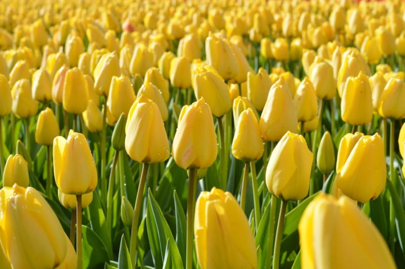 Hoa Tulip 9 800x532