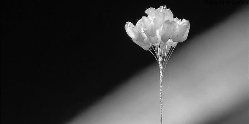 Hoa ưu đàm tinh khiết và trắng ngần