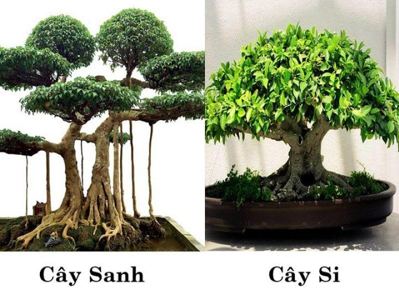 Phan Biet Cay Sanh Cay Si 1 800x600