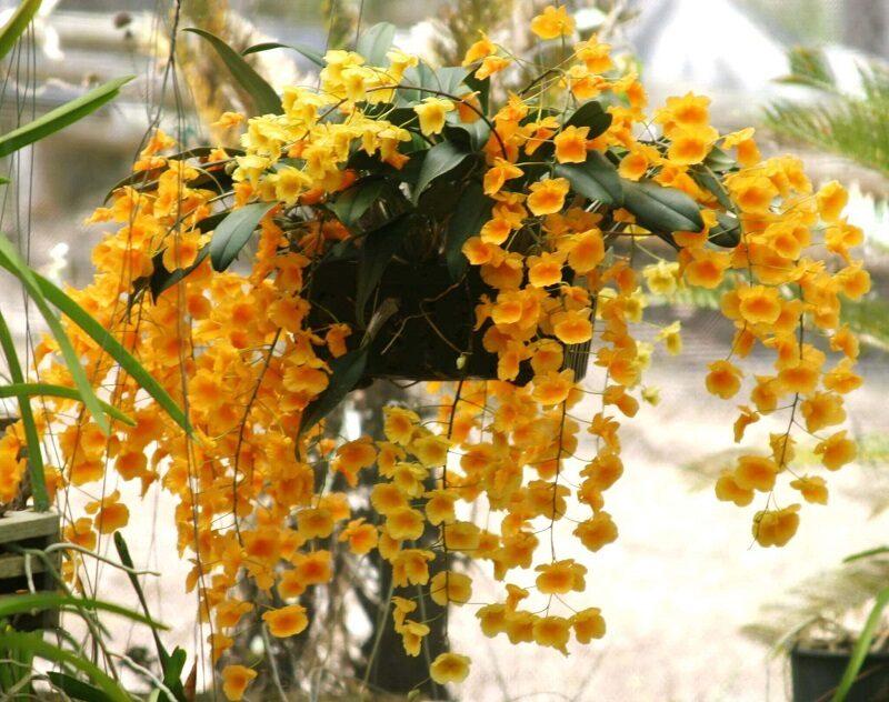 cây hoa lan vảy rồng được treo lên giá mọc rủ xuống những cành hoa vàng rực