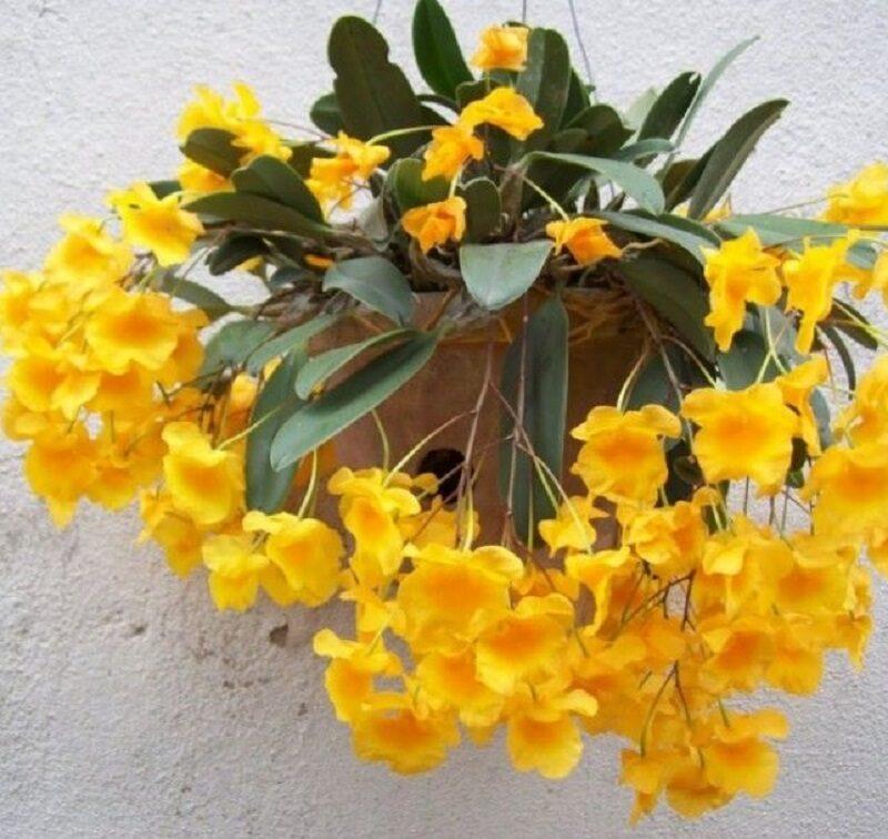 chậu hoa lan vảy rồng lào hoa vàng rực, điểm vài chiếc lá dài, xanh