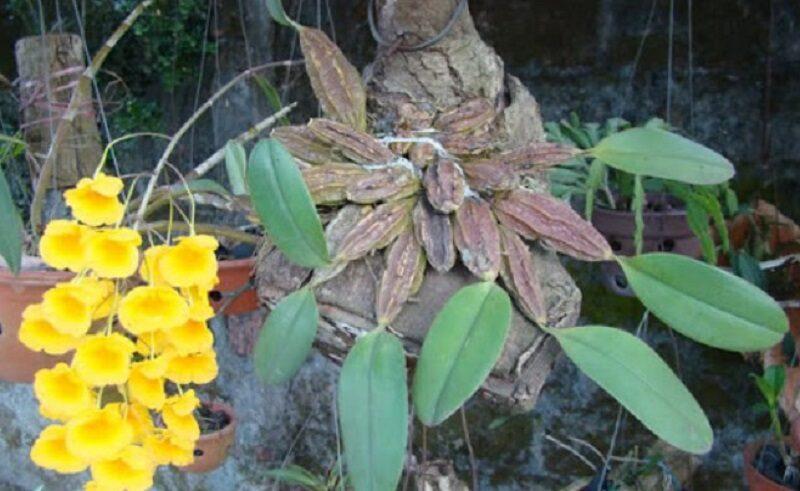 lan vảy rồng ta thân ngắn, 4 khía được ghép trên giá thể gỗ đã ra một cành hoa rực rỡ