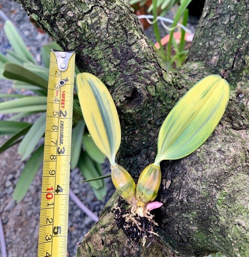 giả hành của lan vảy rồng có lá dài khoảng 4cm được đặt trên thân gỗ