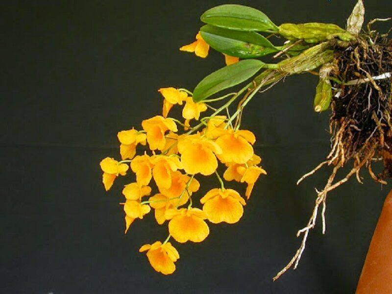 cành hoa lan vảy rồng hoa nhỏ, màu vàng