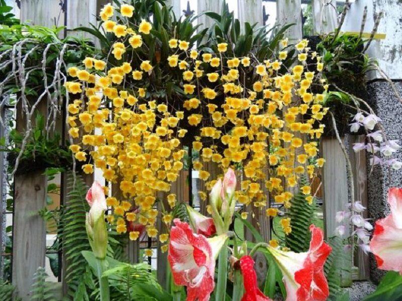 những cây lan vảy rồng được ghép giá thể gỗ tren trên hàng rào, mọc hoa buông rủ xuống và vàng rực rỡ