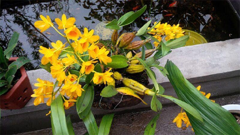 chậu hoa lan vảy rồng có nhiều hành giả, hoa nở vàng tươi