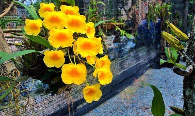 giá thể gỗ được ghép hoa lan vảy rồng được treo trên cao