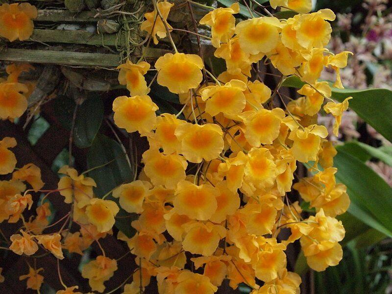 lan thủy tiên cánh hoa mỏng lượn sóng, bên ngoài màu vàng, ở giữa vàng đậm