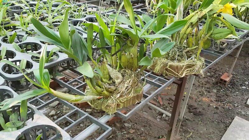 những khóm lan thủy tiên được trồng ghép vào khúc gỗ sống xanh tốt