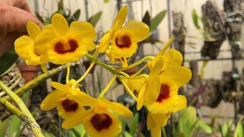 cành hoa lan thủy tiên cánh hoa màu vàng, bên trong màu thẫm