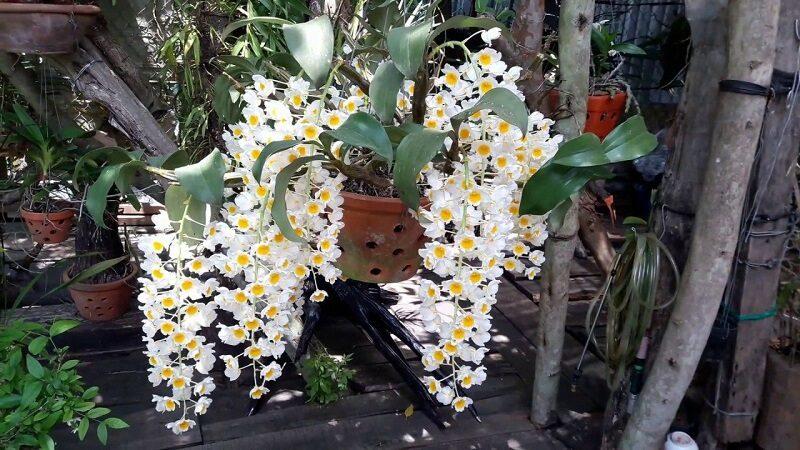 chậu lan thủy tiên trắng treo trên cây, những cành hoa trắng buông rủ xuống