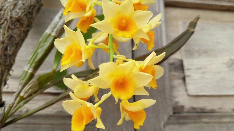 lan thủy tiên mỡ gà có cánh hoa mỏng vàng, trên cành có nhiều bông