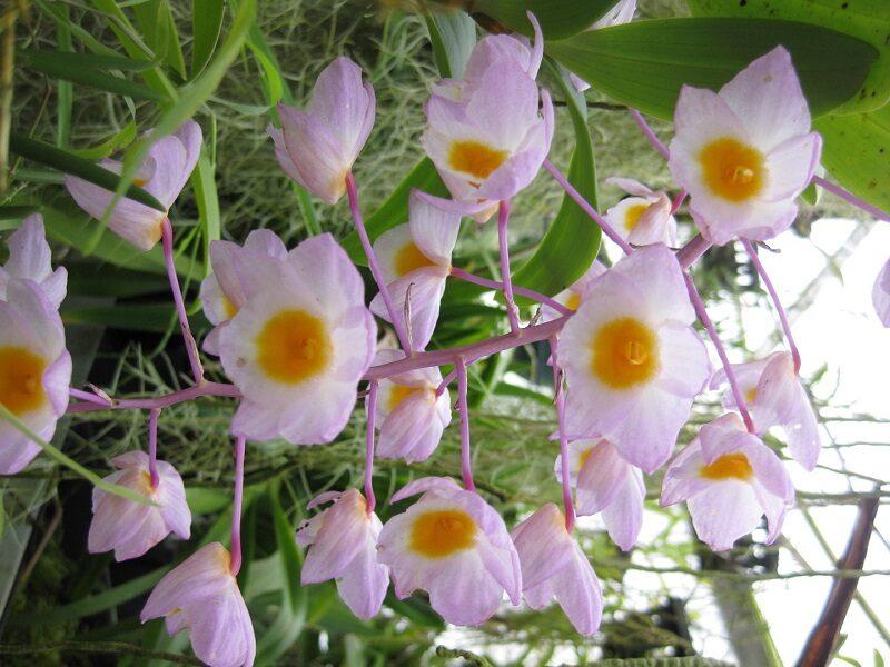 cành lan thủy tiên hường có thưa hoa, mỗi bông có màu hường nhạt, nhụy vàng