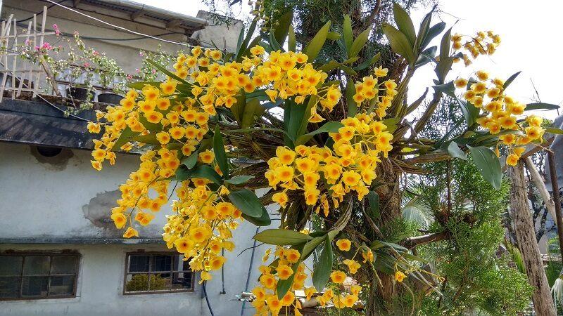 rất nhiều gốc lan thủy tiên ghép vào thân cây gỗ và cho ra rất nhiều cành sai hoa, màu vàng rực