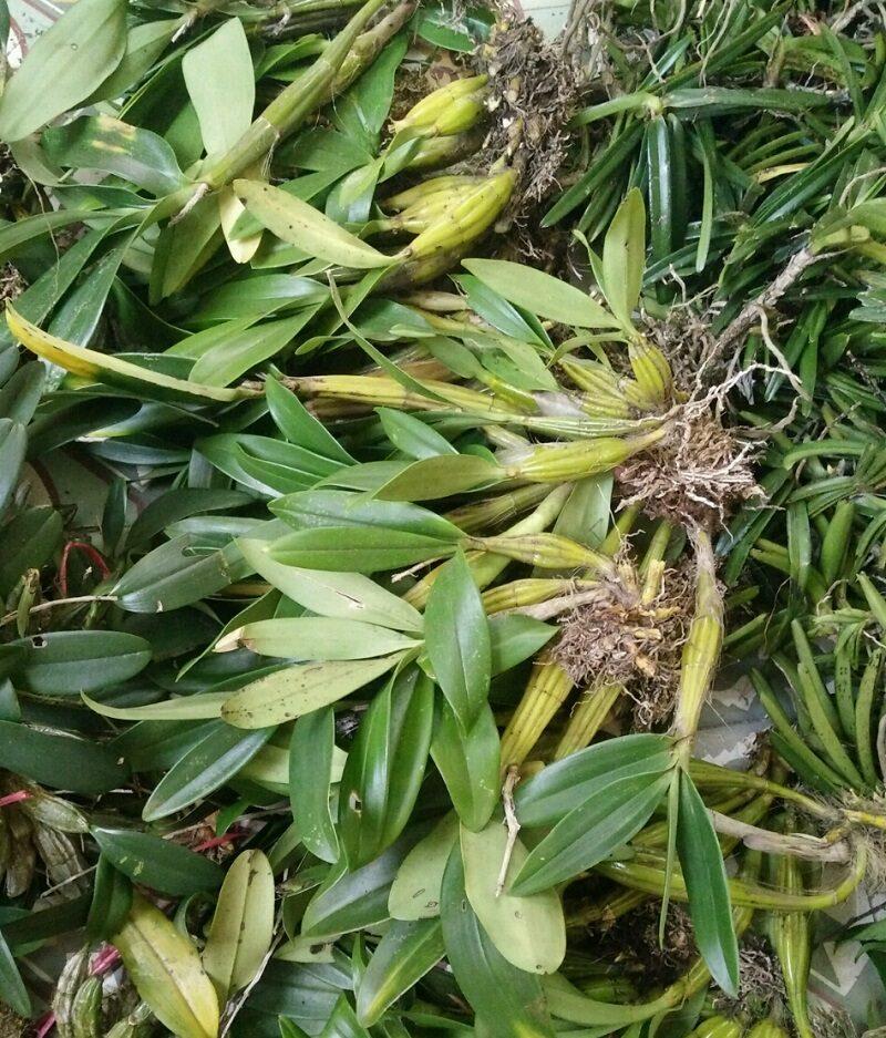 cây giống lan thủy tiên có lá xanh tốt, đã mọc rễ