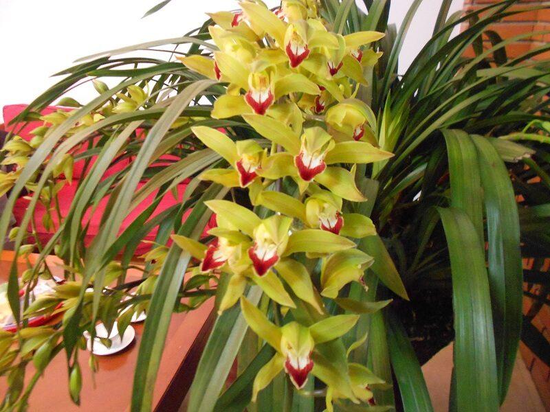 cành lan trần mộng dài, những bông hoa vàng như hạc giấy, phần giữa màu đỏ đậm