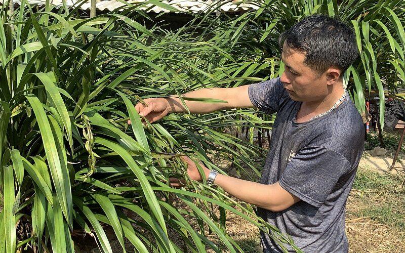 chú nông dân đang tiến hành cắt tỉa cây lan trần mộng trong vườn