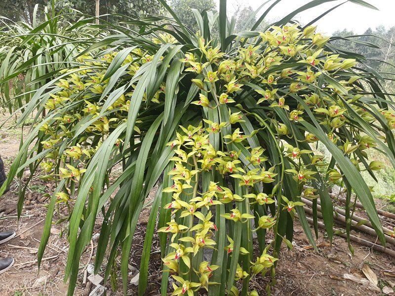 cây lan trần mộng trồng trong vườn rất xanh tốt, đã nở hoa