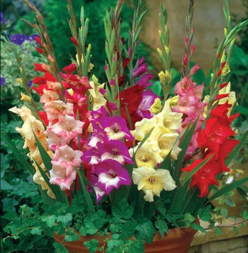 Trang trí hoa lay ơn nhiều màu