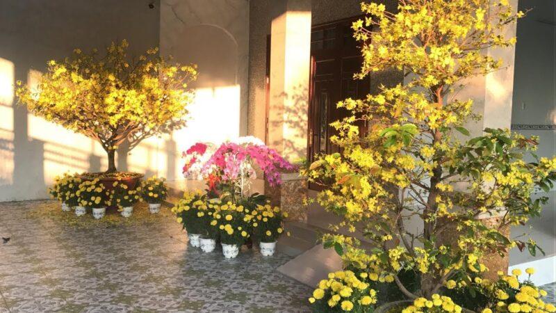 Hoa mai vàng trồng ngoại thất