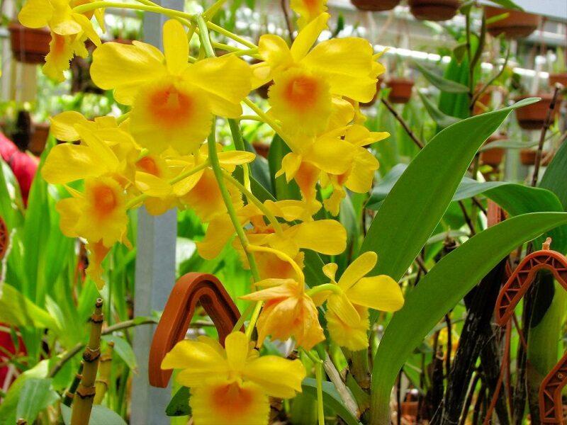 cành hoa lan hoàng lạp vàng tươi nở rộ, rủ xuống