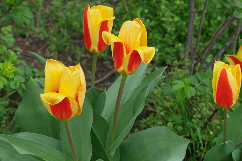 Hoa Dep Hoa Tulip 800x533