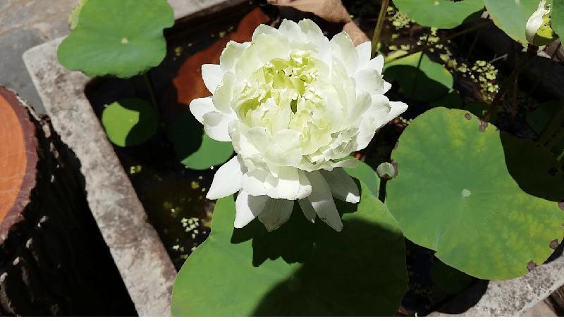 Hoa Sen Trang Trong Chau 800x456